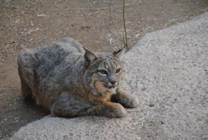 Bobcat (2) (Medium)