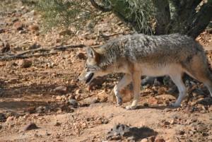 Coyote (1) (Medium)