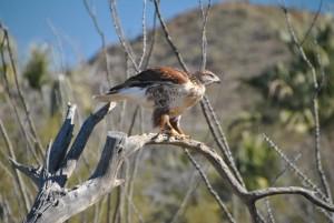 Ferruginous Hawk (14) (Medium)