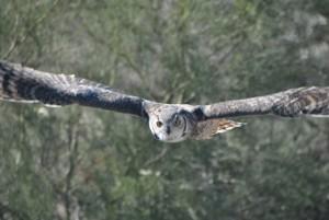 Great Horned Owl (1) (Medium)