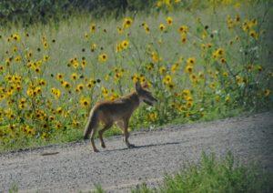 Coyote (Medium)