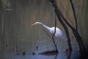 Great Egret 2 (Medium)