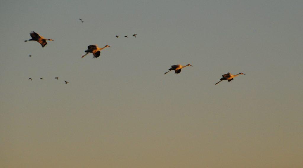 cranes-in-flight-8-medium