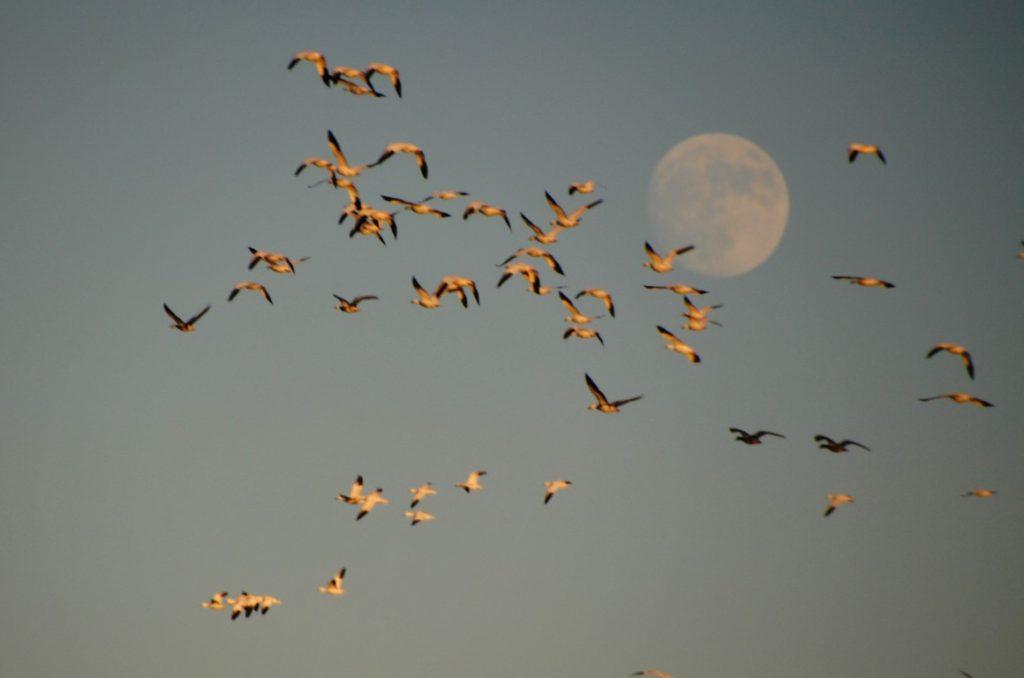 snow-geese-against-the-moon-2-medium