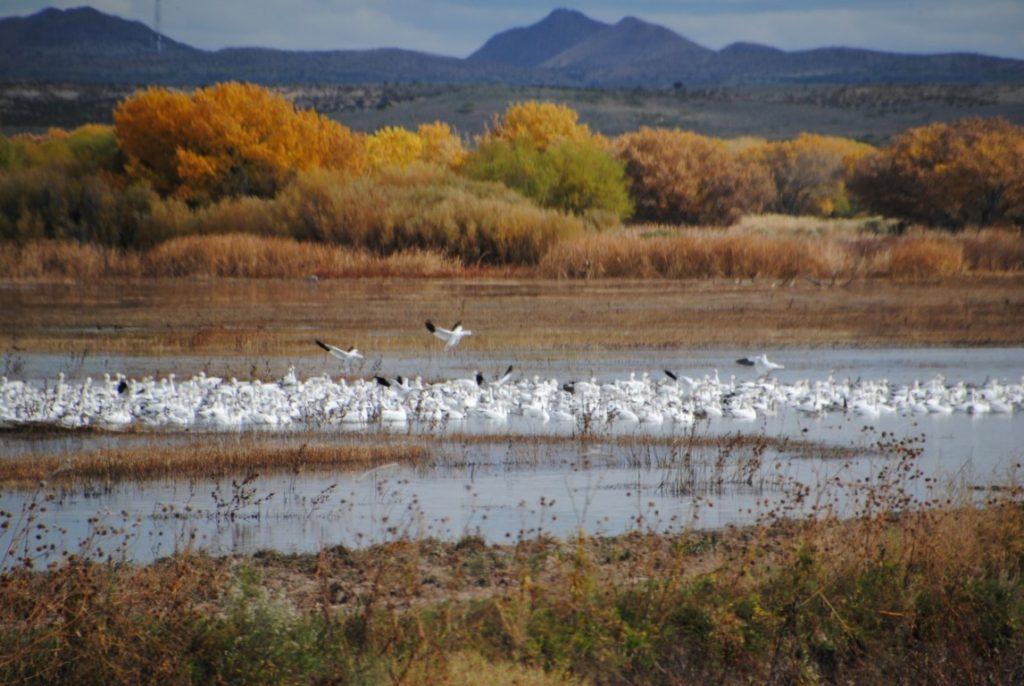 snow-geese-at-b-d-a-4-medium