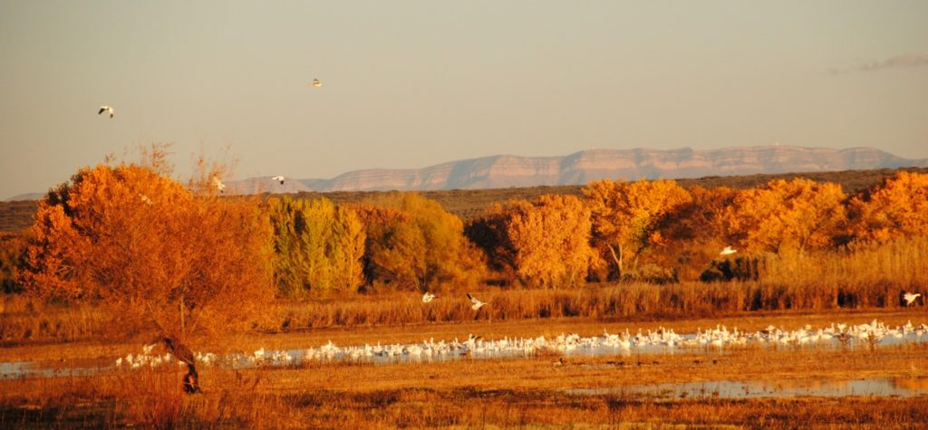 snow-geese-at-b-d-a-5-medium